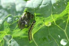 Cabbage White Caterpillars Underleaf Stock Image