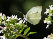 Cabbage White on flowers Stock Photos