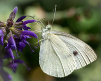 Cabbage White on Purple Wildflower Macro Royalty Free Stock Images