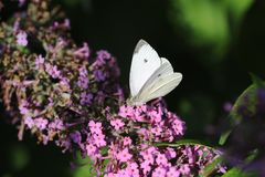 Cabbage White Royalty Free Stock Image