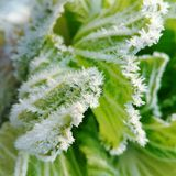 Cabbage in winter and frost stock image