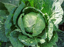 Cabbage yield. Green cabbage yield on a bed Royalty Free Stock Photo