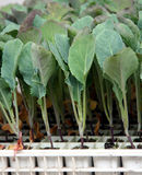 Cabbage young plants Stock Photos