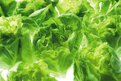 Cabbages royalty free stock photo