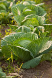 Cabbages Royalty Free Stock Photography