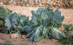 Cabbages Stock Photography