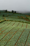 Cabbages in the agriculture fields. Many green cabbages in the agriculture fields Stock Images