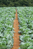 Cabbages in the agriculture fields Stock Photos