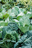 Cabbages and collard greens Stock Images