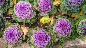 Cabbages field in garden Royalty Free Stock Images