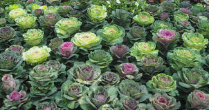 Cabbages field in garden Stock Image