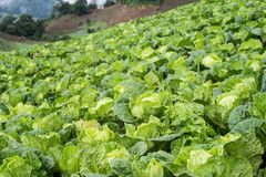 Cabbages field mountain view Stock Image