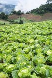 Cabbages field mountain view Royalty Free Stock Photography