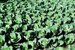 Cabbages in a field, Spain. Royalty Free Stock Photo
