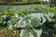 Cabbages Field Stock Images