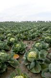 Cabbages in the fields Royalty Free Stock Images