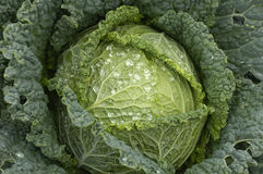 Cabbages in a garden Stock Image