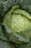 Cabbages in a garden Royalty Free Stock Images