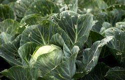 Cabbages in a garden Stock Photos