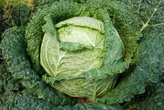 Cabbages garden Stock Photography