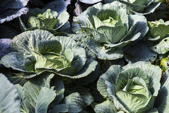 Cabbages Stock Photo