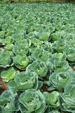 Cabbages growing Royalty Free Stock Photos