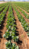 Cabbages Growing - Intensive Modern Agriculture royalty free stock photos