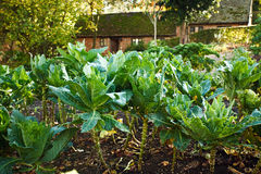 Cabbages growing in a kitchen garden Royalty Free Stock Photos