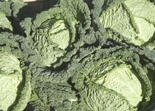Cabbages (savoy type) Royalty Free Stock Image