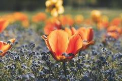 Cabeça alaranjada e amarela brilhante da tulipa em um campo das flores Fotografia de Stock Royalty Free