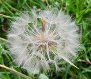 Cabeça amarela da semente da barba do ` s da cabra Fotografia de Stock Royalty Free