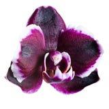 Cabeça bonita da cereja escura com phalaenopsis branco da orquídea da borda Fotos de Stock