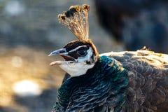 Cabeça bonita do pavão com um topete Imagem de Stock Royalty Free