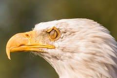 Cabeça branca da águia imagens de stock