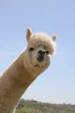 Cabeça branca da alpaca Imagem de Stock Royalty Free