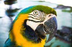 Cabeça colorida do papagaio Imagem de Stock