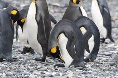 Cabeça curvada, a Antártica dos pinguins de rei imagens de stock royalty free