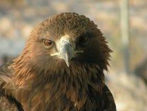 Cabeça da águia Imagens de Stock Royalty Free