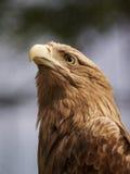 Cabeça da águia Fotografia de Stock Royalty Free
