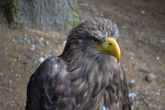 Cabeça da águia foto de stock royalty free