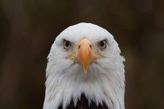 Cabeça da águia de peixes Fotografia de Stock