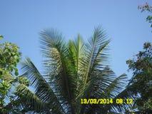 A cabeça da árvore de coco Fotografia de Stock Royalty Free
