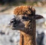 A cabeça da alpaca fotografia de stock