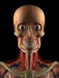 Cabeça da anatomia Foto de Stock Royalty Free