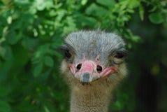 Cabeça da avestruz fotos de stock