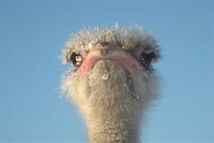 Cabeça da avestruz foto de stock