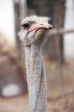 Cabeça da avestruz Imagens de Stock
