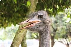 A cabeça da avestruz do retrato do close-up Fotos de Stock