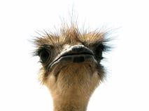 Cabeça da avestruz em um fundo branco Fotos de Stock Royalty Free