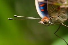 Cabeça da borboleta isolada no fundo verde Fotografia de Stock Royalty Free